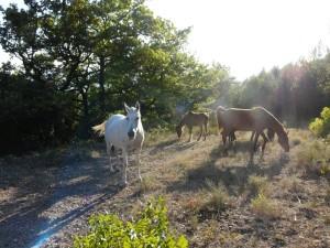 chevaux jaoul